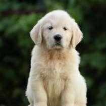 Золотистый ретривер щенок, в г.Запорожье