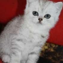 Шотландский котенок, в г.Могилёв