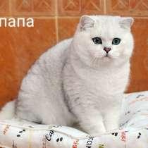 Чистокровные британские котята драгоценного окраса, в Ярославле