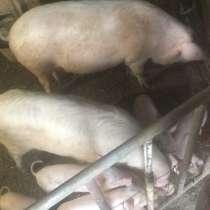 Свиньи поросята, в г.Капан