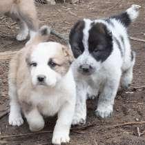 Шикарные щенки туркменского алабая, в Москве
