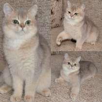 Питомник Chestiff предлагает к продаже шотландских котят, в Самаре