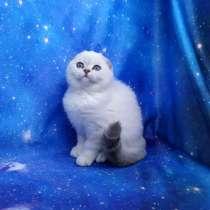 Очаровательные Шотландские котята, в Москве
