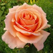 Саженцы роз ОПТОМ, в Перми