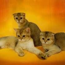 Чистейшая порода шотландских кошек!, в г.Чернигов