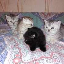 Британские котята, в Ангарске