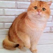 Шикарный британский кот на вязку, в Москве