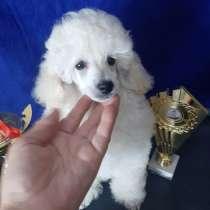 Щенок миниатюрного белого пуделя, в г.Алматы