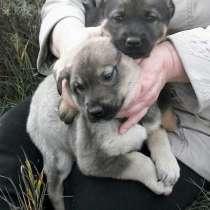 Отдам щенков в добрые руки, в Красноярске