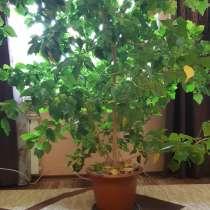 Продам дерево комнатное китайская роза, в Барнауле