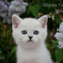 Британские серебристые котята, в Омске