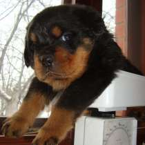 Продаются щенки ротвейлера, в Ногинске