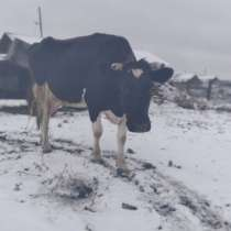 Высоко удоенная корова, в Кыштыме