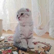 Продажа шотландских котят, в г.Брест