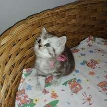 КОТЯТА: кошечка и котик британской породы, в Новочебоксарске