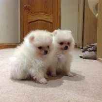 Pomeranian Puppies, в г.Лондон