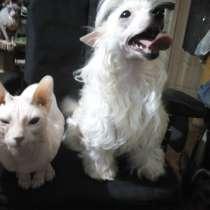 Китайские хохлатые собачки, в Сарапуле