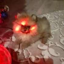 Продам щеночка померанского шпица(мини- мини- мишка), в Рязани