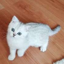Срочно! Кошечка 2 месяца. Шотландская прямоухая!, в г.Минск