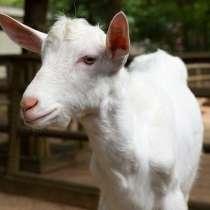Племенные козы Зааненские (Скот из Европы класса Элита), в г.Ереван