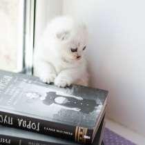 Продам шотландских котят шиншиллв затушованной серебром, в г.Славянск
