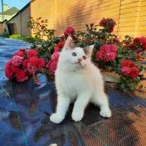 Продам котята курильского бобтейла, в Москве
