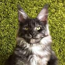 Котята Мейн-кун из питомника, в г.Таллин