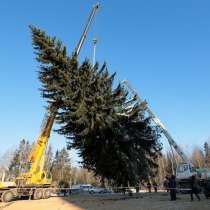 Ёлка живая Новогодняя, в Нижнем Новгороде