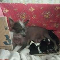 Продаються щенки Китайской хохлатой, в г.Рустави