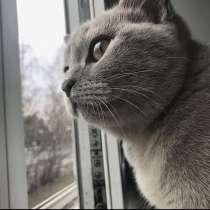 Британский чистокровный кот, в Томске