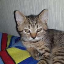 Британские котята, в Сыктывкаре