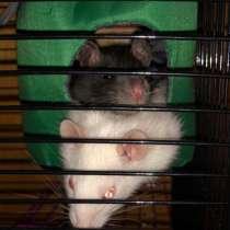 Крысы с клеткой, в Москве