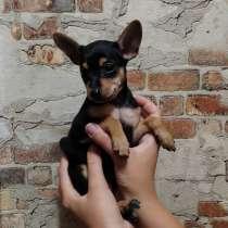 Той-терьер, маленькая собачка, в г.Витебск