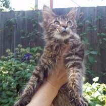 Чистопородный котик классического окраса n 23, в Каменск-Шахтинском