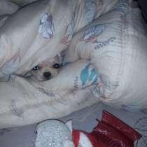 Продам щенка чихуа-хуа, в Ногинске