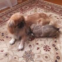 Продам щенка пекинеса, в г.Лида