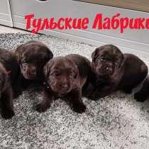 Щенки лабрадора ретривера & Labrador Retriever Puppies, в Москве