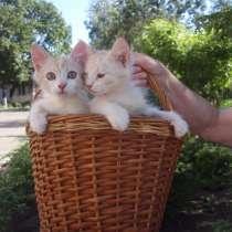 Два котика-братика. От кошечки ангоры, в г.Кривой Рог