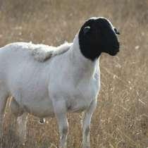 Племенные овцы Дорпер (Скот из Европы класса Элита), в Красноярске
