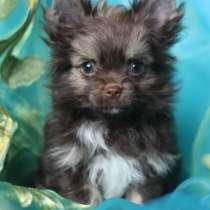 Шоколадный йорк щенки мини мальчик, в Москве