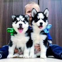 Красивые хаски черно-белые щенки, в Переславле-Залесском