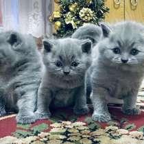 Голубые британские котята, в Чебоксарах