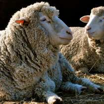 Племенные овцы Прекос (Скот из Европы класса Элита и Элита Р, в г.Ереван