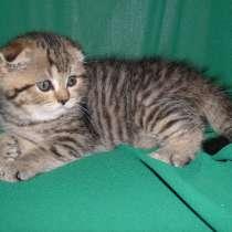Продаются шиншиловые котята, в г.Ташкент