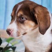 Босс - яркий и красивый щенок в добрые руки, в Москве