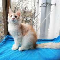 Котёнок мейн-кун мальчик, в Москве
