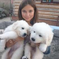 Продаются щенки мареммо-абрудской овчарки, в Иванове