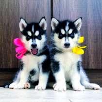 Черно-белые щенята хаски, в Бежецке