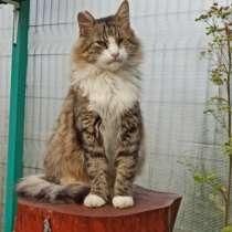 Кошка гигантского размера и ласкового нрава, в Санкт-Петербурге