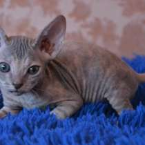 Донской сфинкс котята, в Ярославле